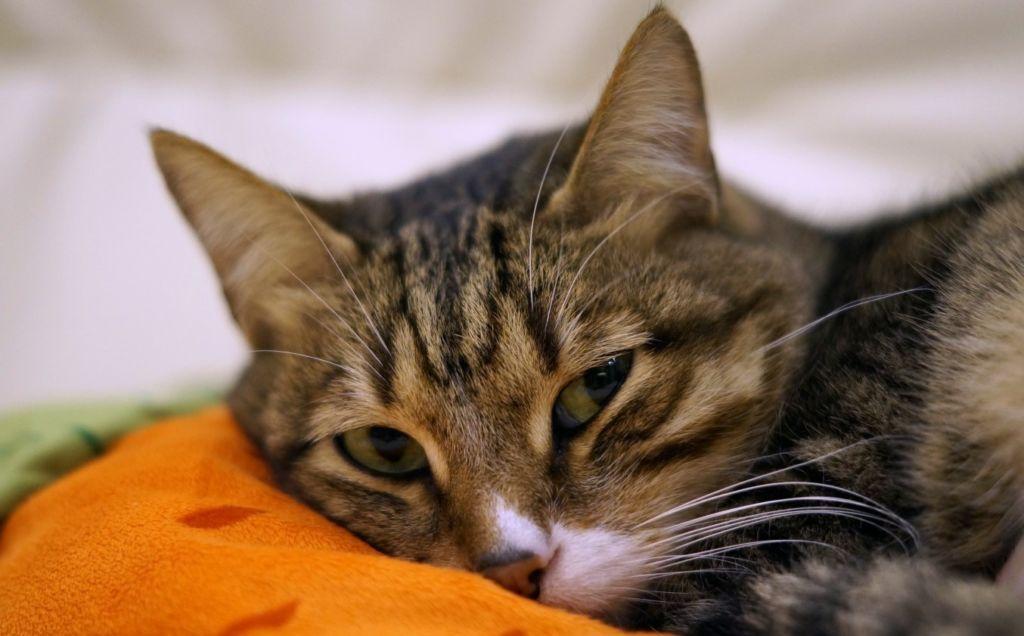 Кастрированный кот