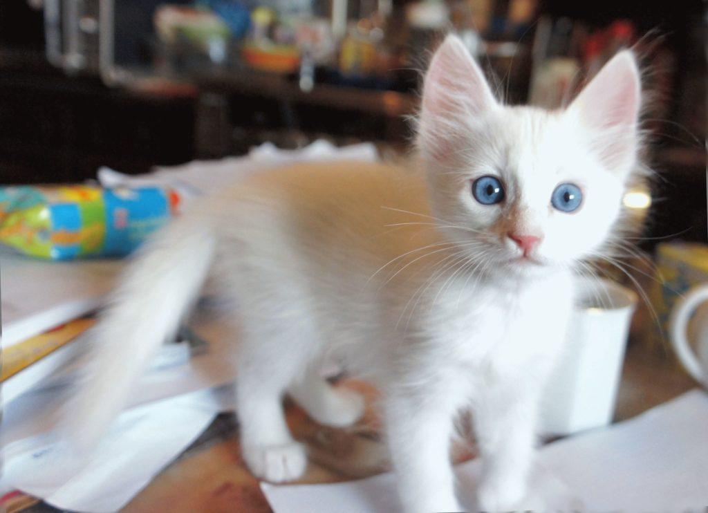 Котёнок турецкого ангорского
