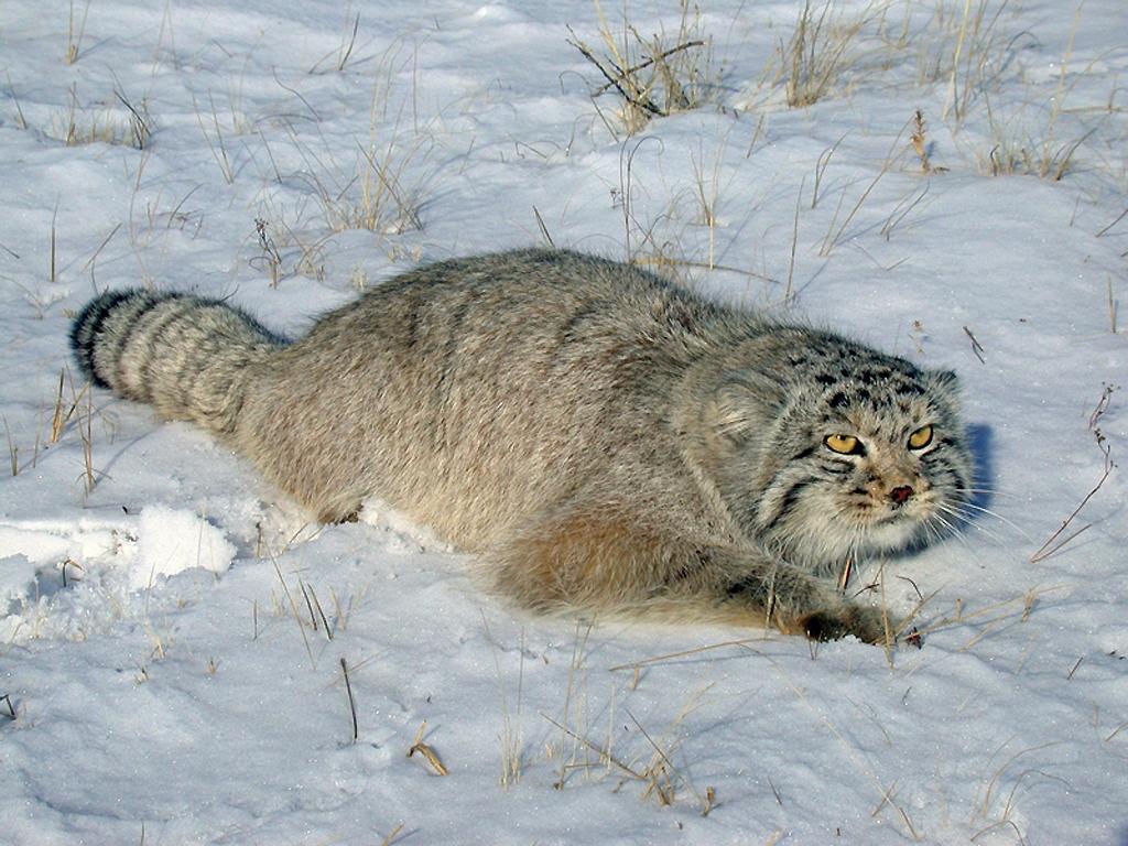 Кот живущий в Сибири