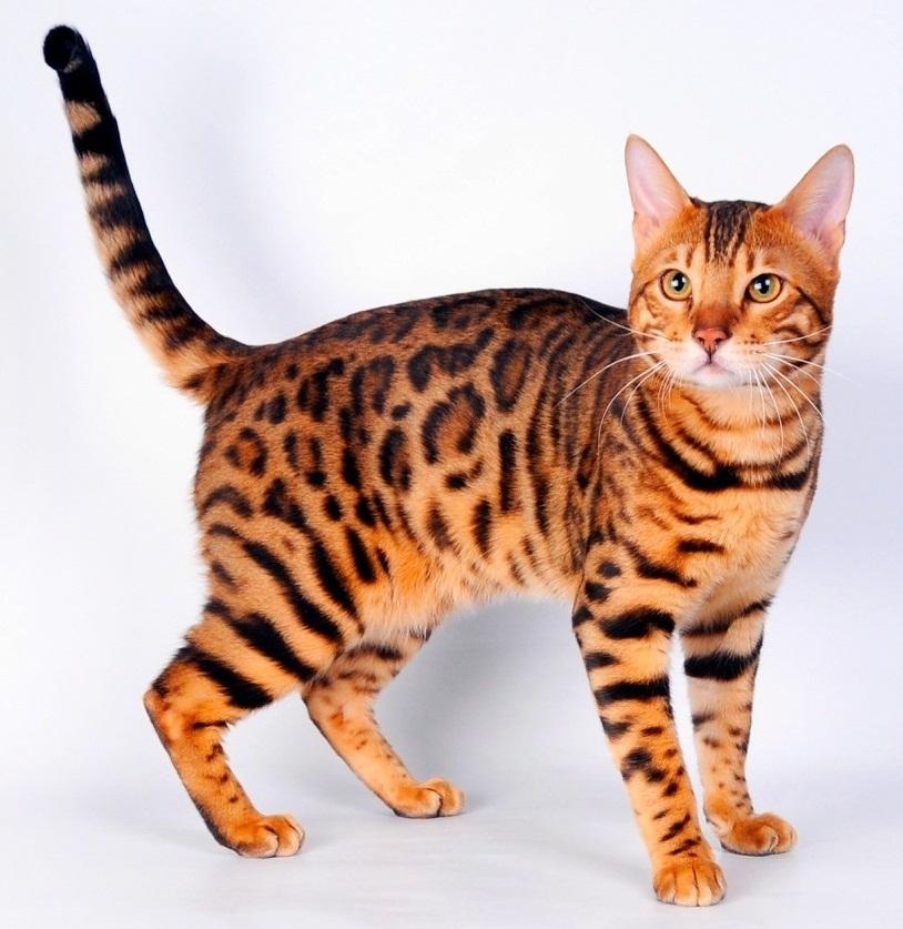 Кошка с окрасом, как у гепарда