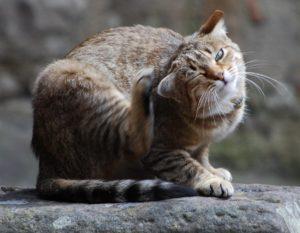 Отит у кота лечение