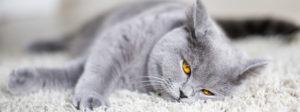 Кожные заболевания у кошек с описанием: фото, симптомы и лечение