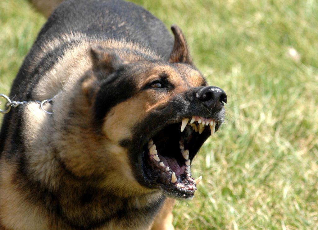 Собака болеющая бешенством