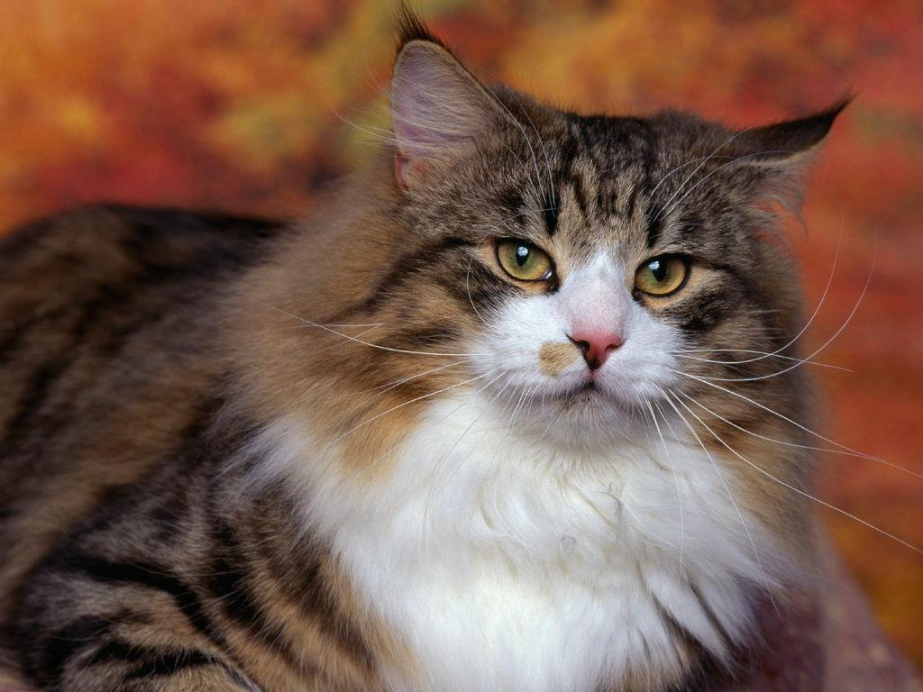 Норвежская лесная кошка с длинной шерстью