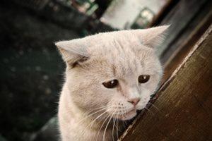Как лечится подкожный клещ у кошек в домашних условиях
