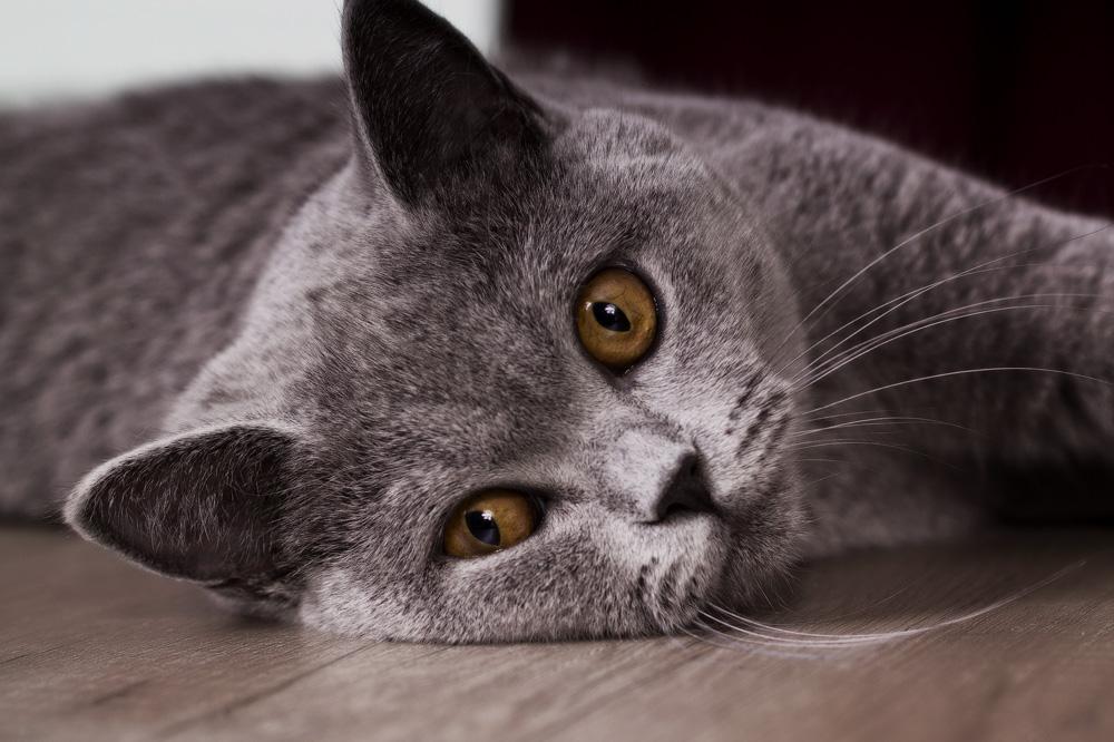 Сильное слюноотделение у кота причины и лечение. Почему у кошки текут слюни изо рта прозрачные как вода: как лечить и что делать? У кошки текут слюни: признаки обильного слюнотечения, опасно ли это