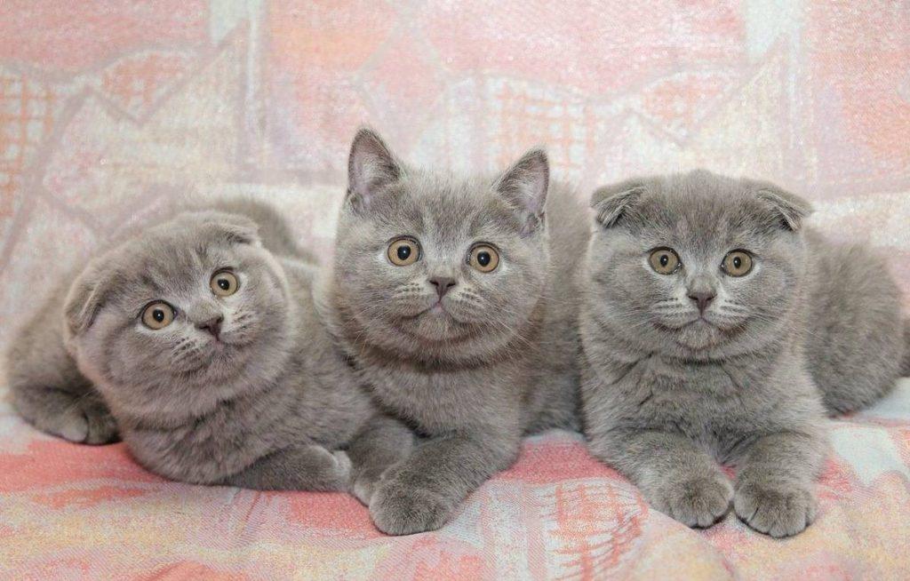 В чем отличие британских кошек от шотландских