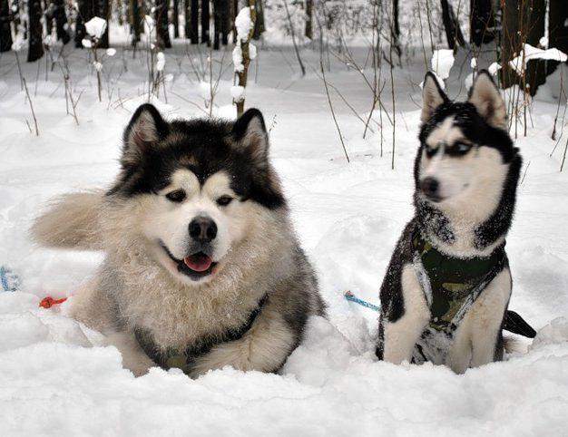Основные отличия пород собак маламут и хаски