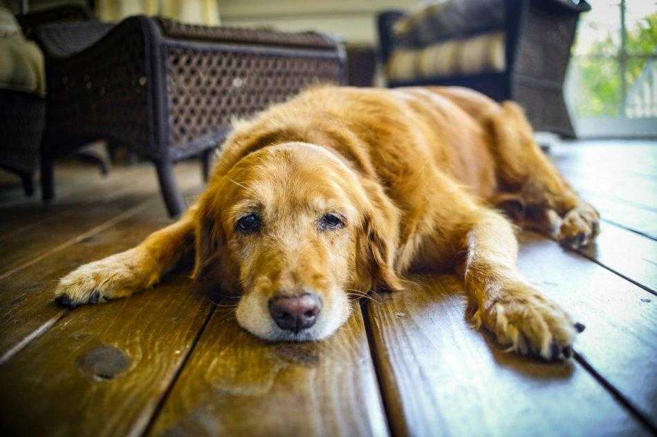 Пожилой пес