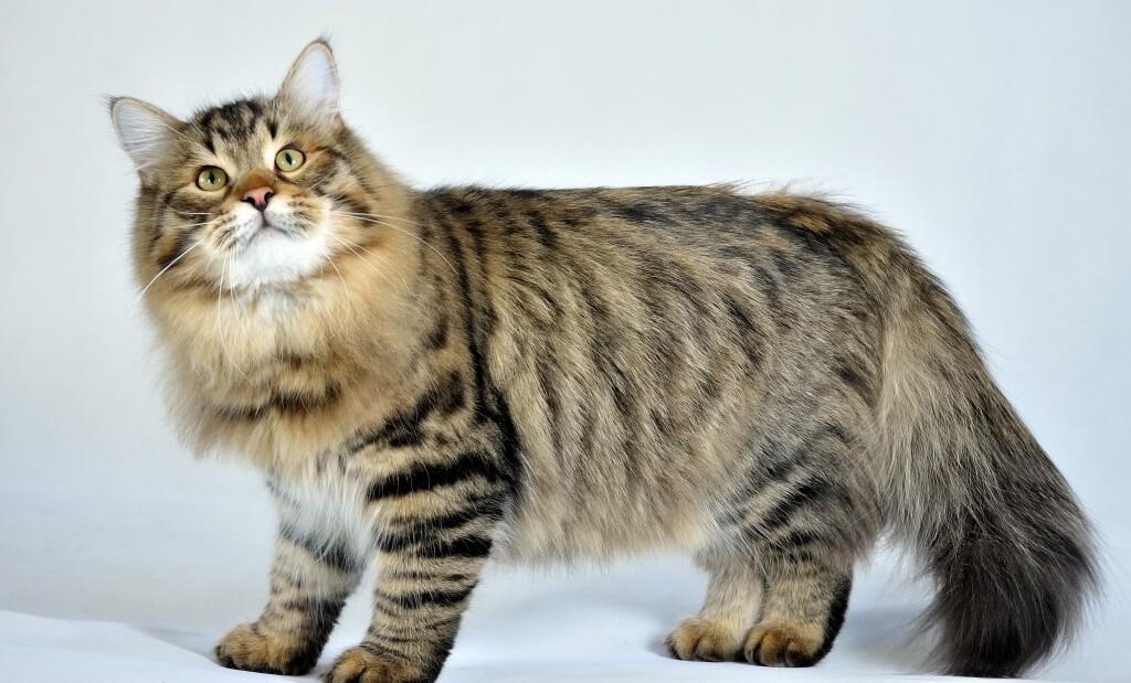 Почему кота тошнит? Что делать, если кота рвет