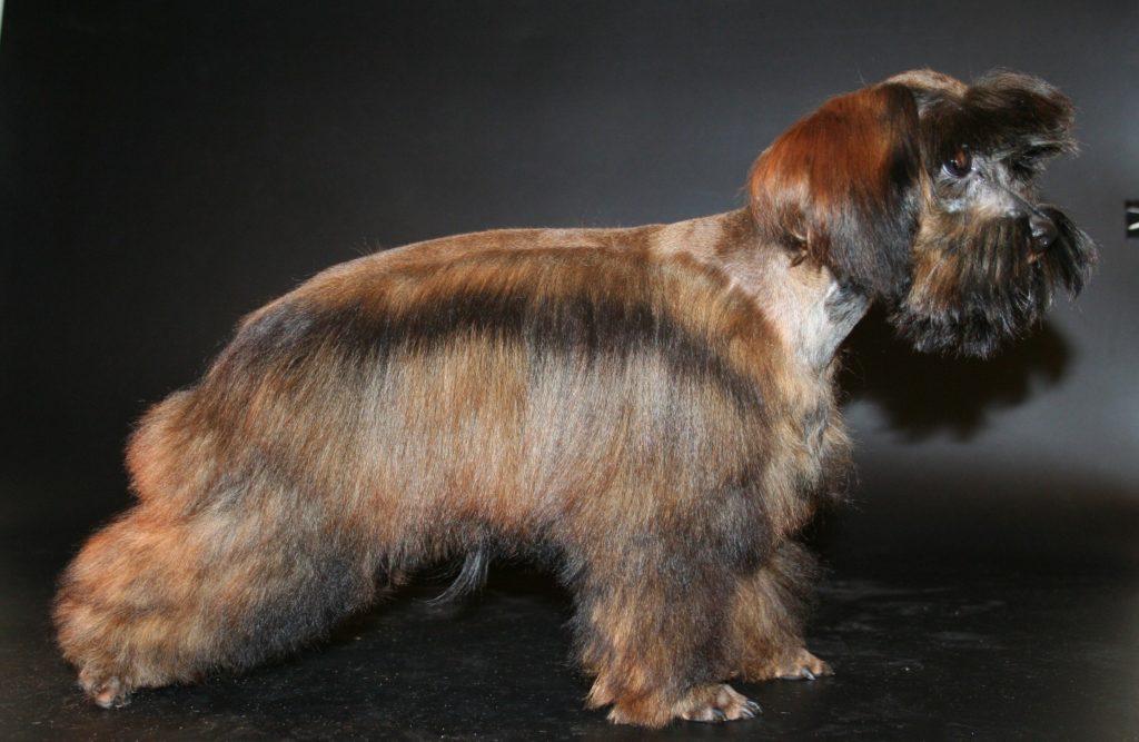 Петербургская миниатюрная собака