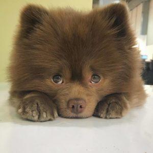 Породы собак, похожие на медвежат