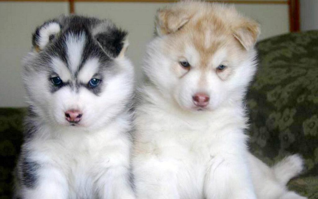 Сибирские красавцы