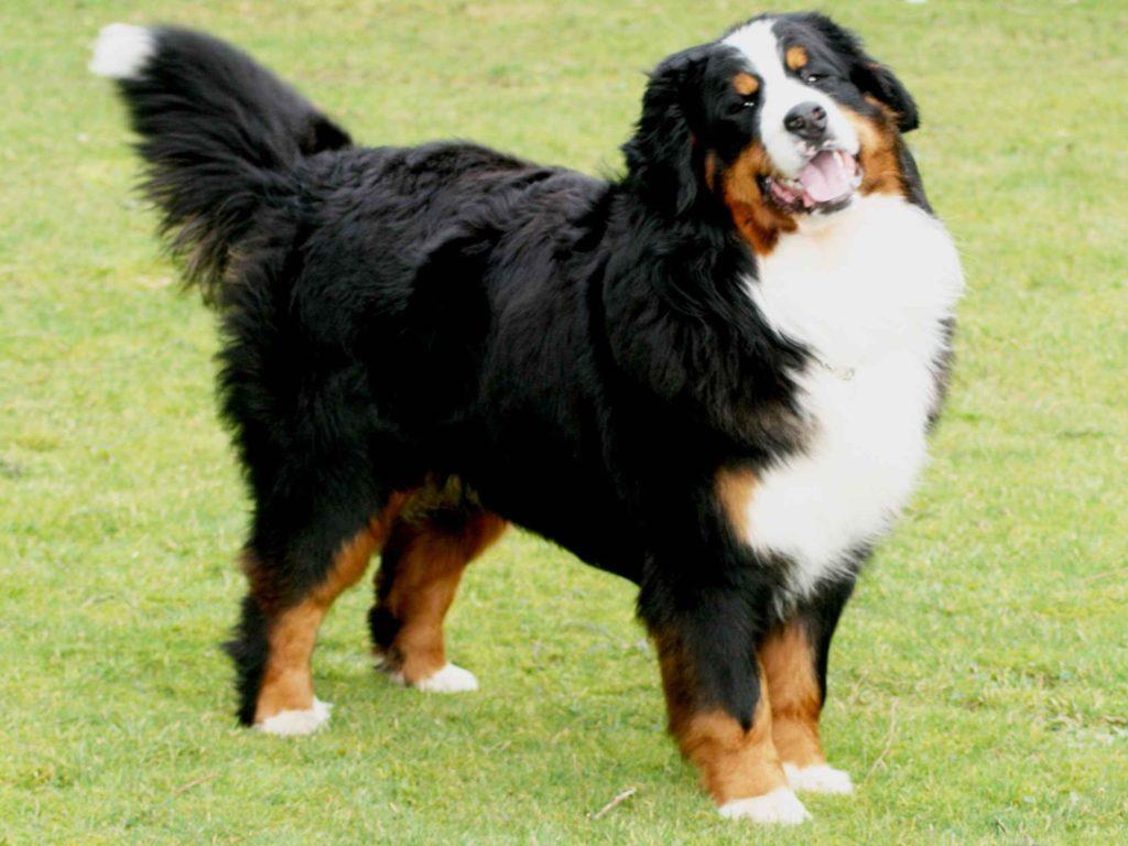 породы собак зенненхунд