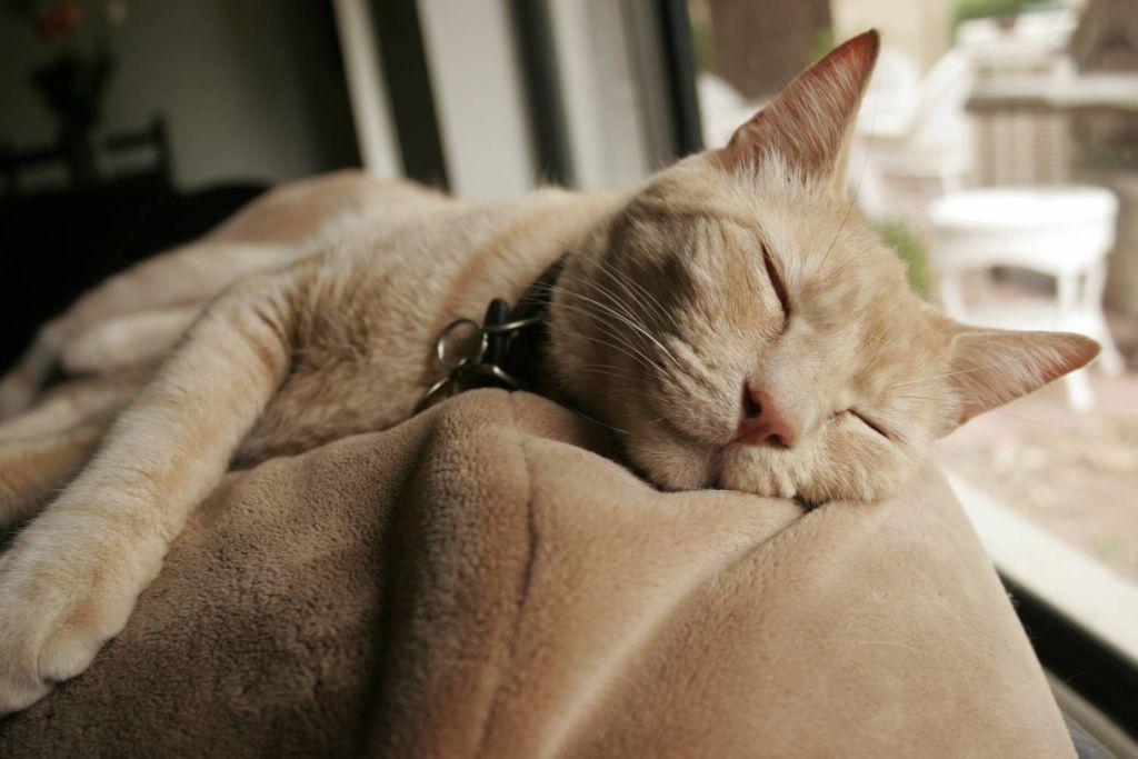 Успокоительные средства для кошек: препараты, спреи и капли