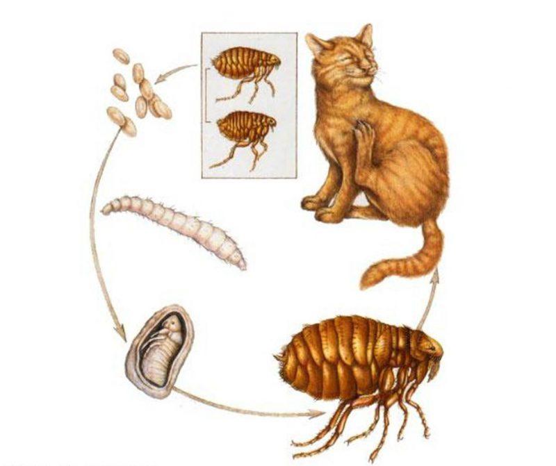 Цикл паразита