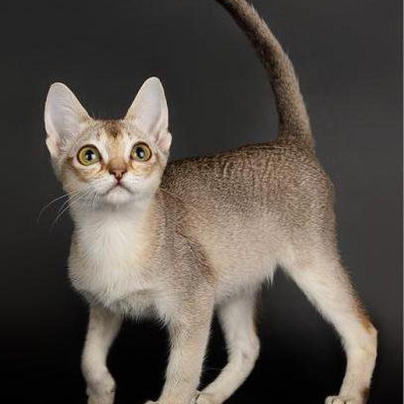 порода мини кошек фото бульдогом называют