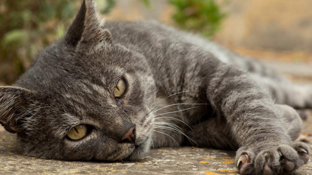 Кошачий огуречный цепень симптоматика заболевания и способы лечения