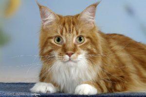 Причины по которым кошка после стерилизации метит территорию