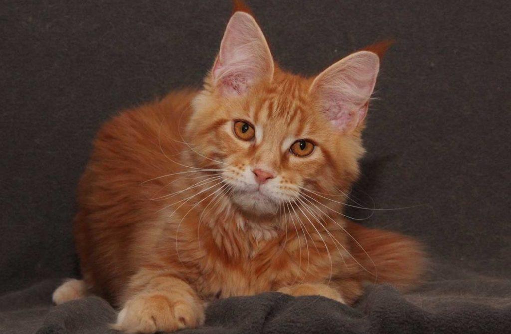 Рыжие коты: самые популярные породы рыжиков, характер рыжих котов, здоровье животных