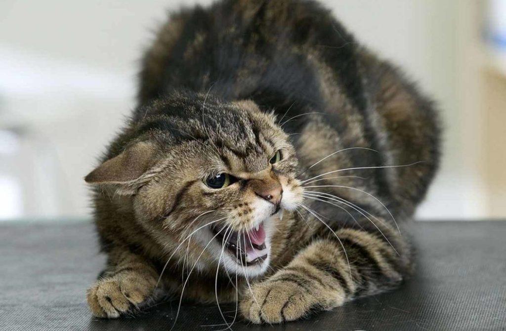 Вакцина от бешенства для кошек