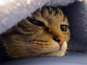 Рак у кошек: симптомы и лечение онкологии