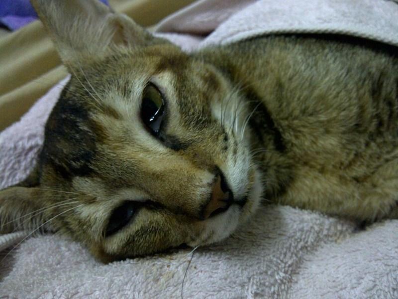 Инфекционный перитонит у кошек. Клинический случай